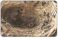 ... perkawinan berhasil burung kenari betina haruslah menemukan burung